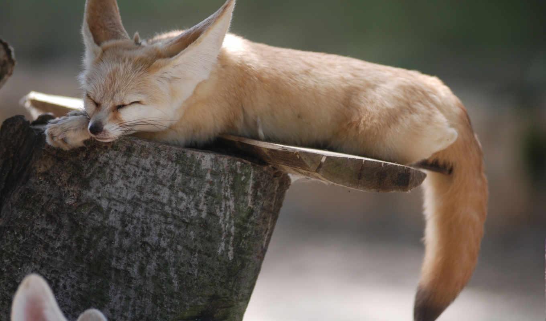 fennec, hewan, peliharaan, фокс, ini, tail, яndex, коллекциях, yang,