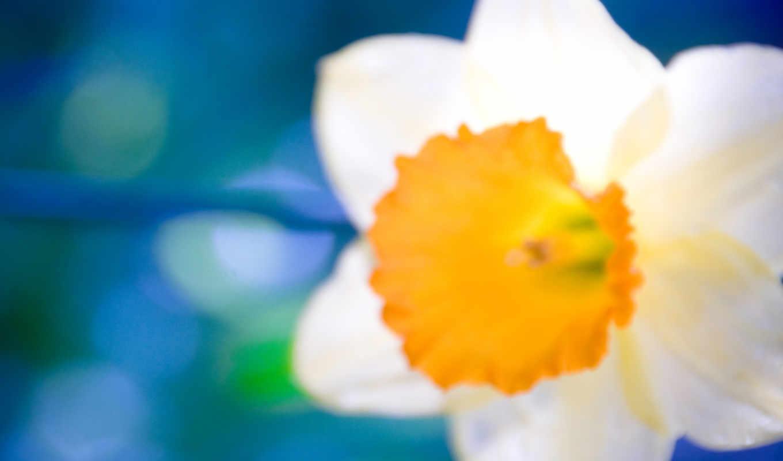 цветы, wallpaper, blurriness, hd, flowers, wonderfull, wallpapers, full, план, крупный, цветок, белый, оранжевый, daffodils,