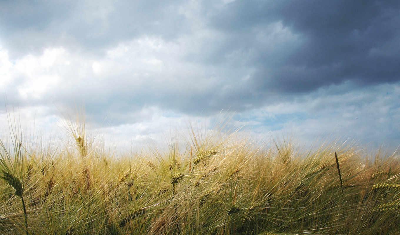 пшеница, поле, небо, природа, облака, колосья, пейзаж, citations, clouds, panneaux,