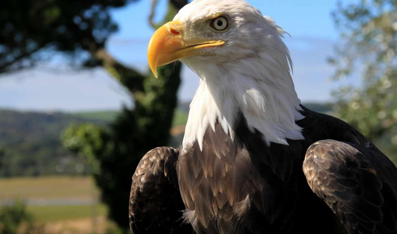 клюв, голова, птица, орлан, перья, страница, картинкой, хищник,