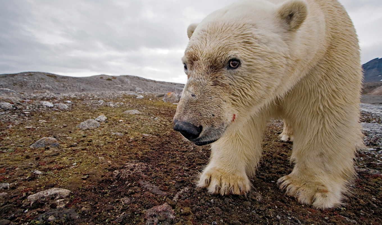 медведь, north, white, природа,