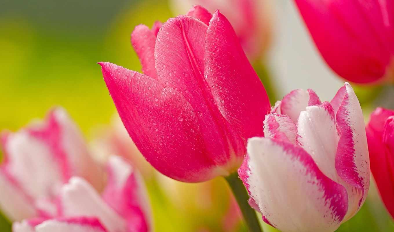 flowers, free, цветы, images, фото, photos, розовый,