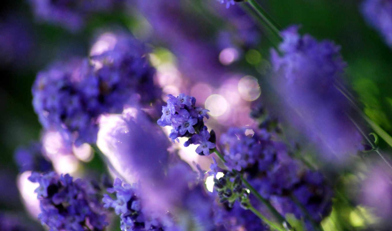 цветы, lavender, растительность, фиолетовый, фиолетовые, color, поляна,