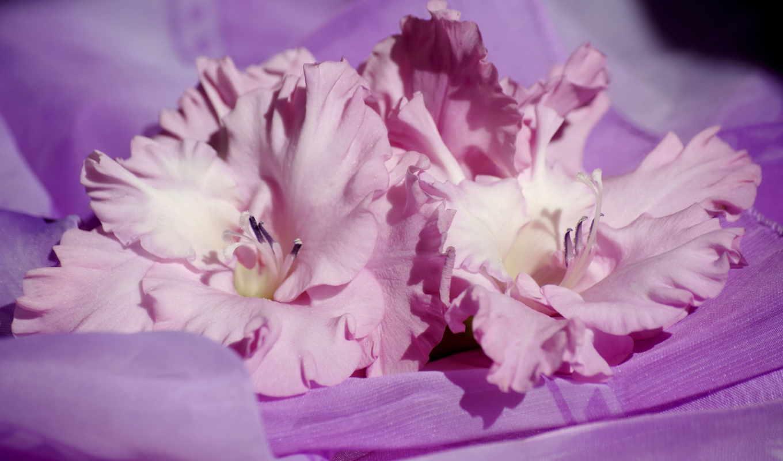 цветы, гладиолусы, розовый,