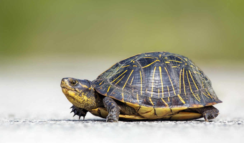 черепаха, красивая, ползти, черепахи,