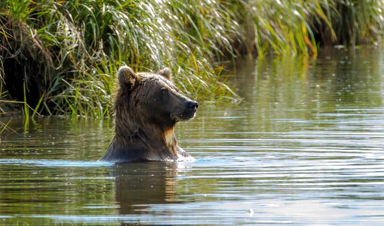 медведь, water, купаются, you,