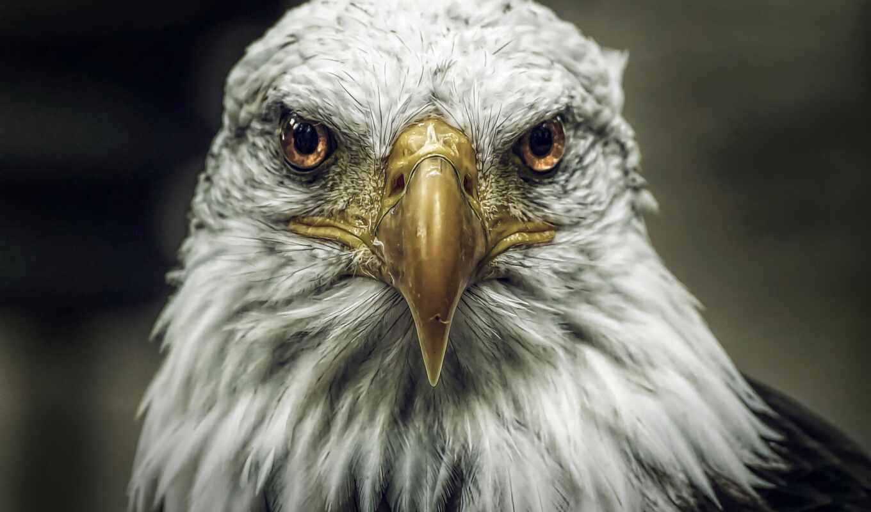 орлан, golov, картинка