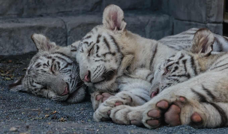 тигр, кошка, мир, красивые, сон, сновидений, белый, осознанных, сказочный, фотоальбом, главная, волшебные, марта,