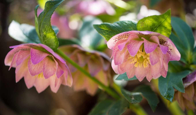 flowers, cvety, best, desktop, pictures, геллеборус,
