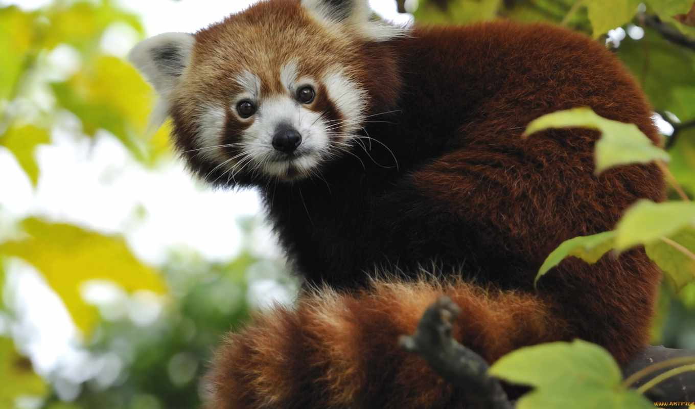 red, панда, pandas, pinterest, real, экосистема, more, pictures,