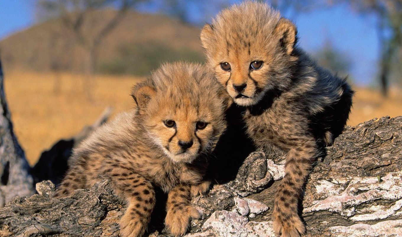 cheetah, filhotes, животные, chita, гепарда, мире, cubs, parede, торрент, our, papel, животными,