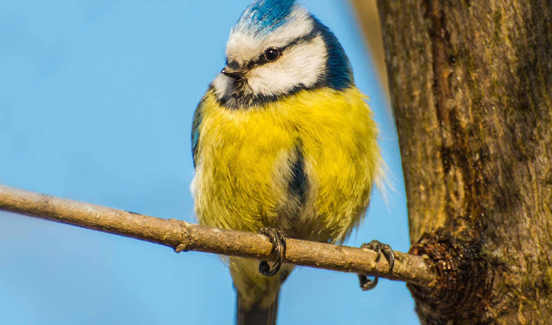 птица, животные, ветка, желтая, природа, birds, синица,