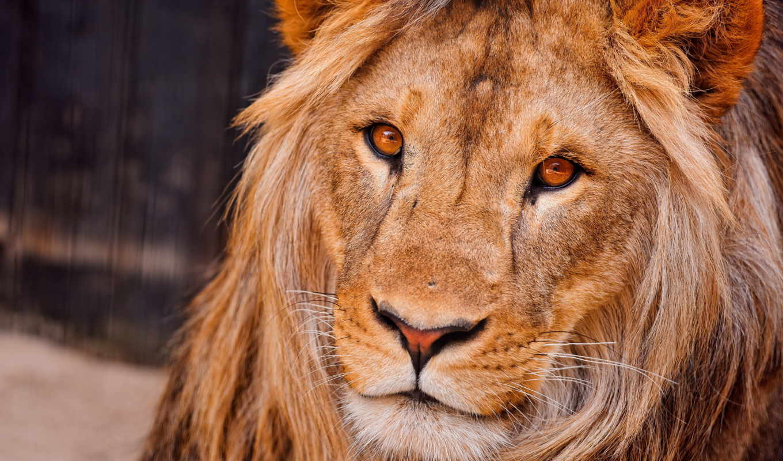 морда, lion, грива, льва,