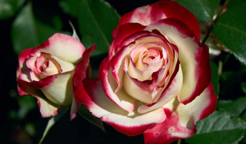розы, цветы, самым, красные, бело, дек,