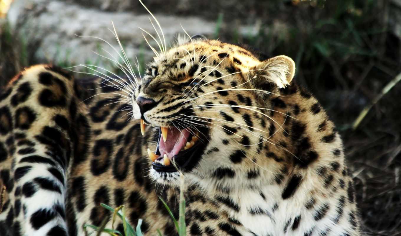 леопард, ухмылка, кот, большая, zhivotnye, клыки, хищник,