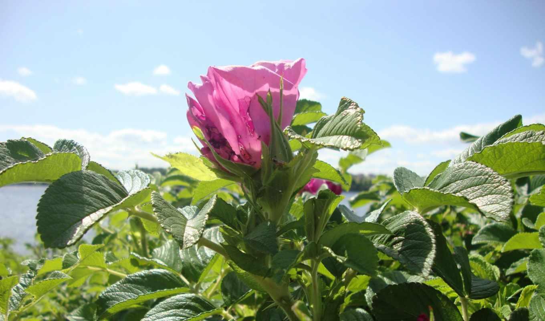 ipad, зелёный, цветение, shrub, мини, шиповник, bush, листва, роза,