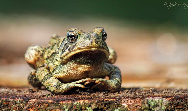 bullfrog, видов,