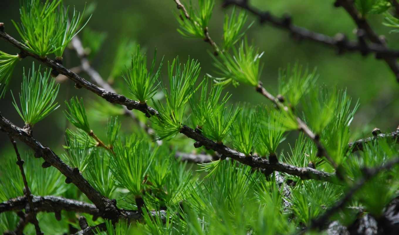 иголки, дерево, ветки, колючки, зеленые, природа,