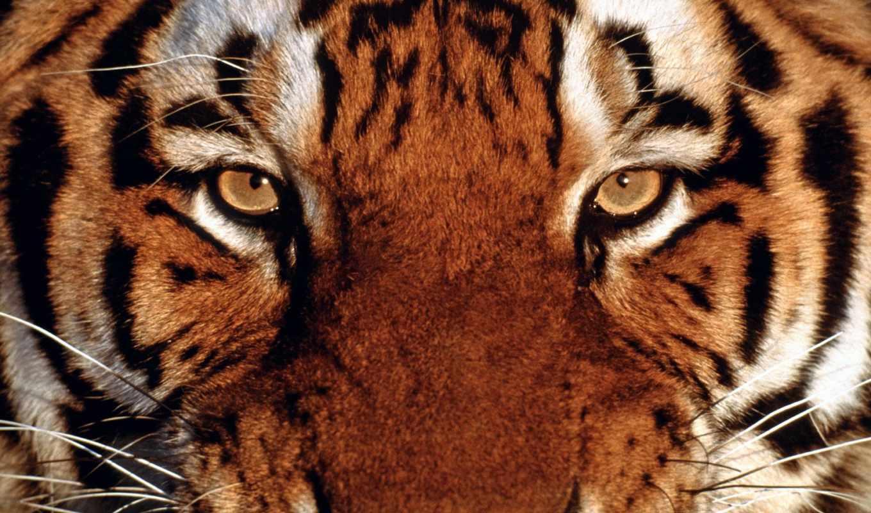 тигры, тигра, тигр, свет,