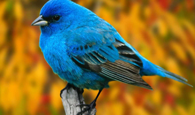 птицы, птица, синяя, голубая, птиц, цейлона, птичка,