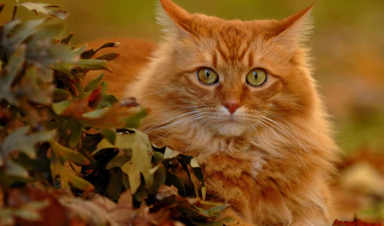 red, кот,