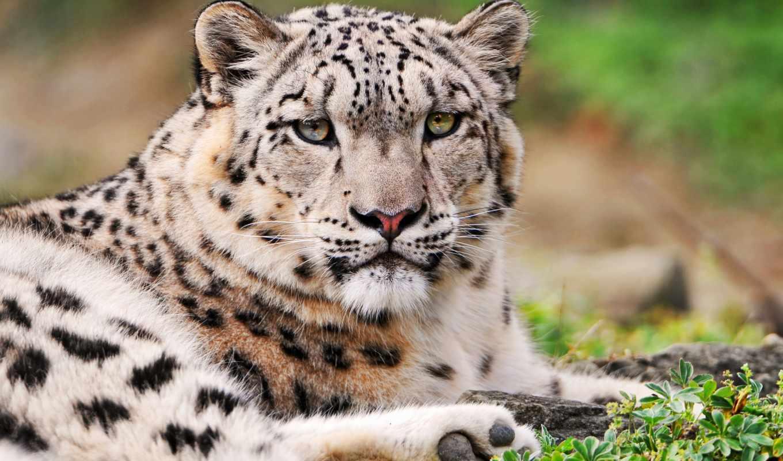 леопард, снег, хмурый, ирбис, леопарда, шикарная, pussycat, white, белоснежного,