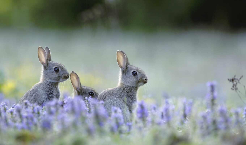 кролик, цветы, lavender, wild, луг, поле