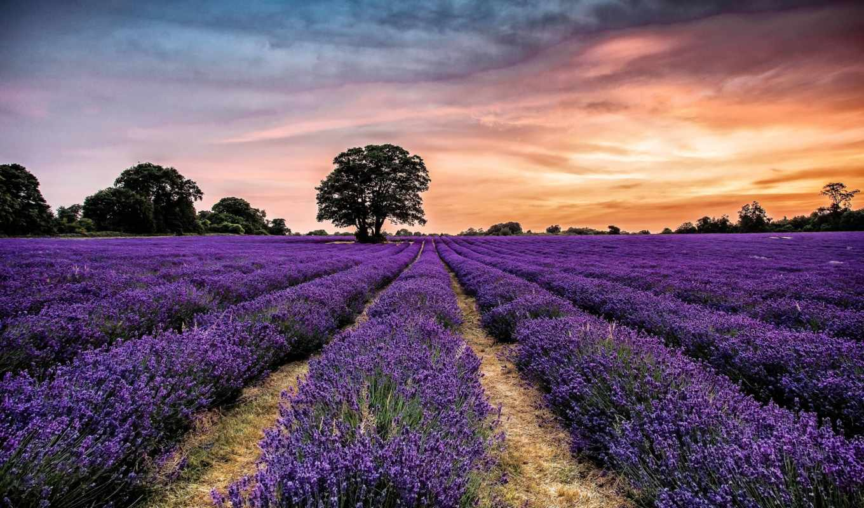lavender, картинка, деревя, landscape, цветы, закат, природа, поле,