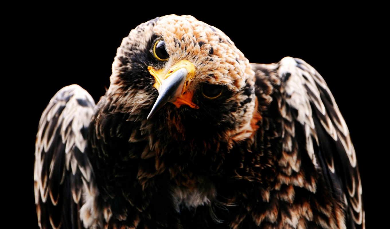 орлан, птица, птицы, клюв,