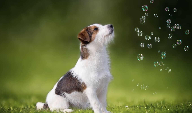ди, photos, flickr, пузыри, мыльные, джек, рассел, бультерьер, собака,