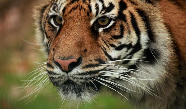 art, vk, tiger, file,