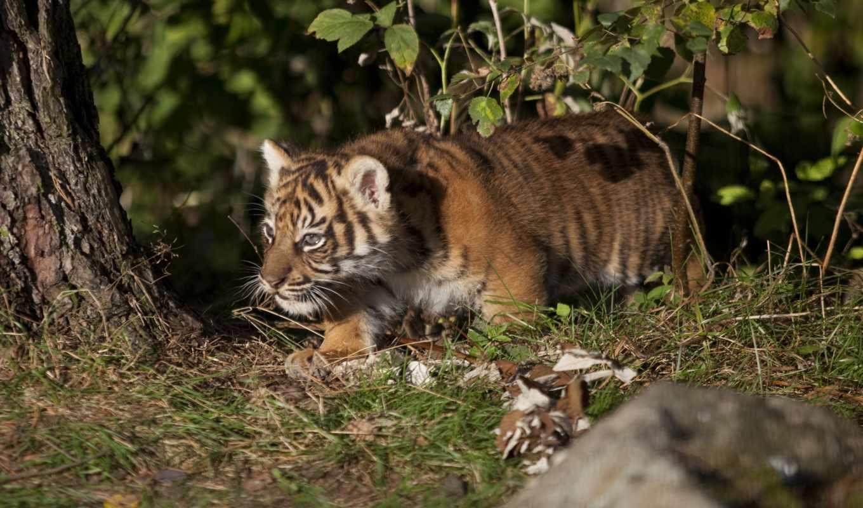 тигр, глаза, pictures,