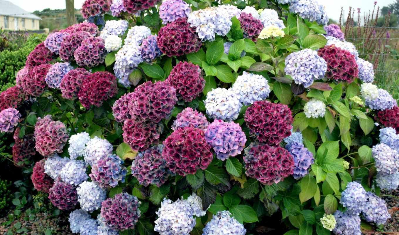 гортензия, взгляд, bush, colorful, красиво, цветы, розы, white, сиреневый, нежность,
