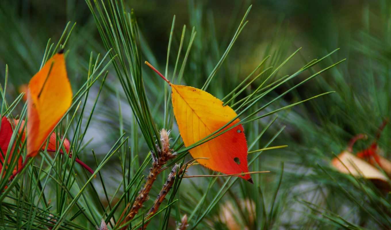 дек, осенние, разных, листья, иголки,