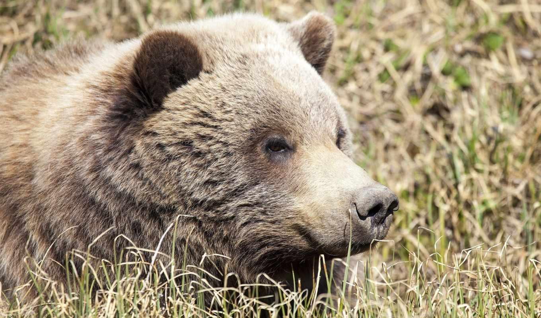 медведь, desktop, animal, морда, картинку, animals,