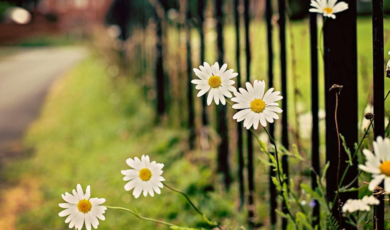 papatya, flowers, duvar, daisy, çiçek, цветы, kağıtları,