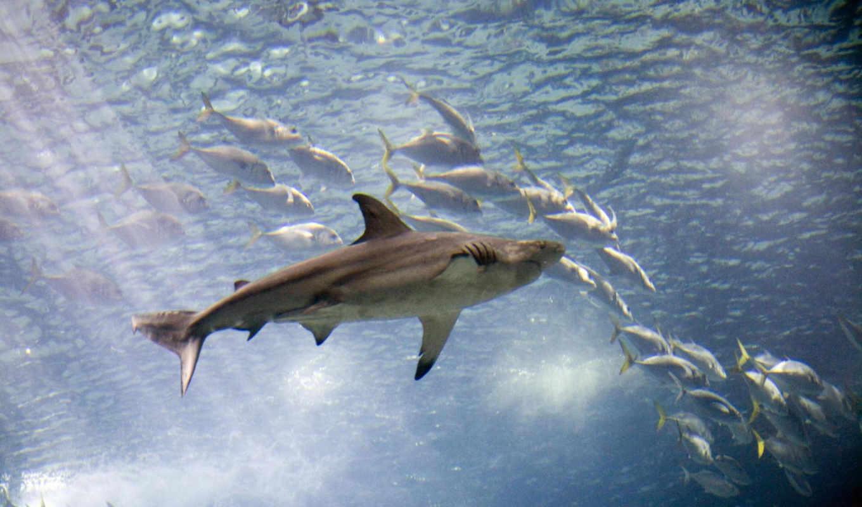 tiburón, blanco, акулы, акулами, красивые, pisces, carcharodon,