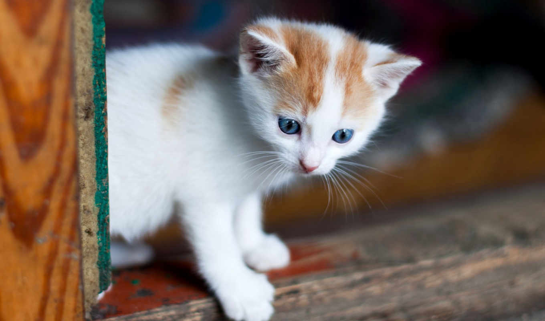 кот, котенок, глаз, смотреть, cute, white, blue, baby, усы, картинка