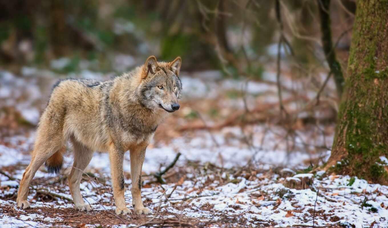 волк, oir, mobivolk, лес