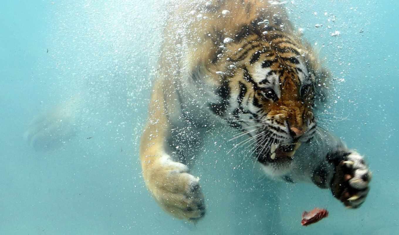 underwater, tiger, desktop, просмотреть, background, shark,