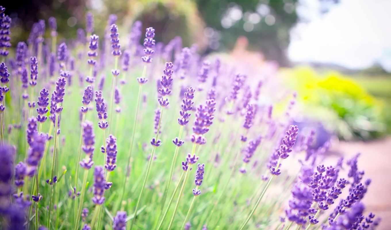 ,цветы,лаванда, поле, небо,