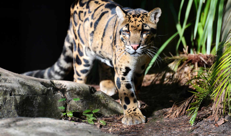 леопард, дымчатый, кот,