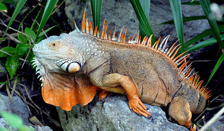 iguana, была, обыкновенная, научно, шведским, врачом, карлом, описана, году, натуралистом, kot,