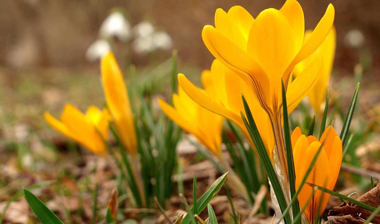 desktop, flowers, цветы, crocuses, türkiye, click, çiğdemler, link, sarı, nin, просмотров,