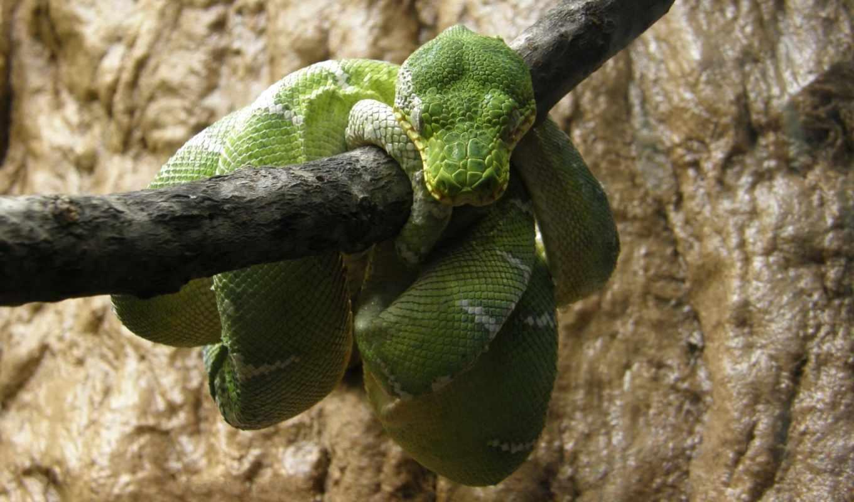 snake, branch, зелёная, boa, will,