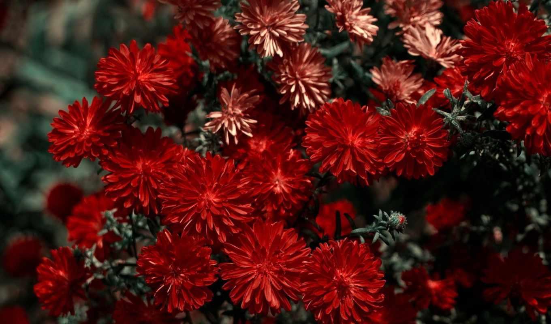 хризантемы, красивые, цветы, красные, такие,