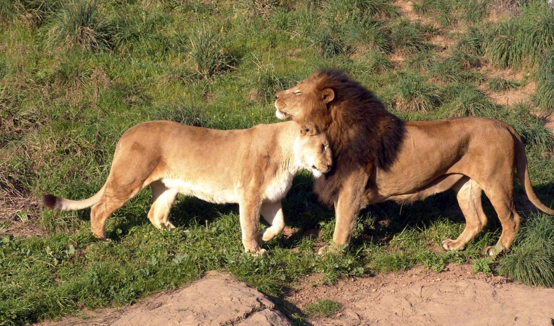 lion, львица, львы, широкоформатные,