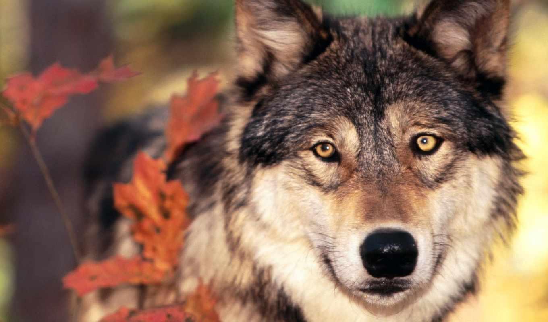 волк, волки, морда, fone, осенью, blue, голубом,