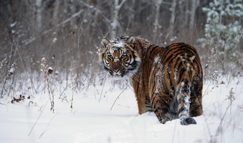 тигр, снег, животные, зима, animals, wallpaper, wallpapers, усурийский, морда, animal, reptiles, tigers, заснеженная, picsfab, hd, desktop, скачивания, кнопкой, выберите, ней, правой, мыши, похожие, к