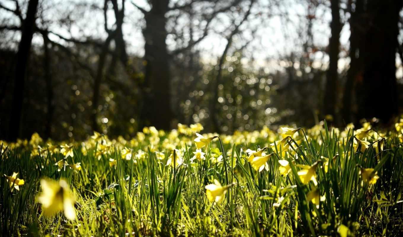нарциссы, цветы, желтые, весна,